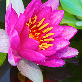 Water Lily by Sue Matsunaga - Novices Only Flowers & Plants