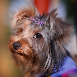 King Side View by Ferdinand Ludo - Animals - Dogs Portraits ( side view photo shoot, yorkie, lovely, cute )