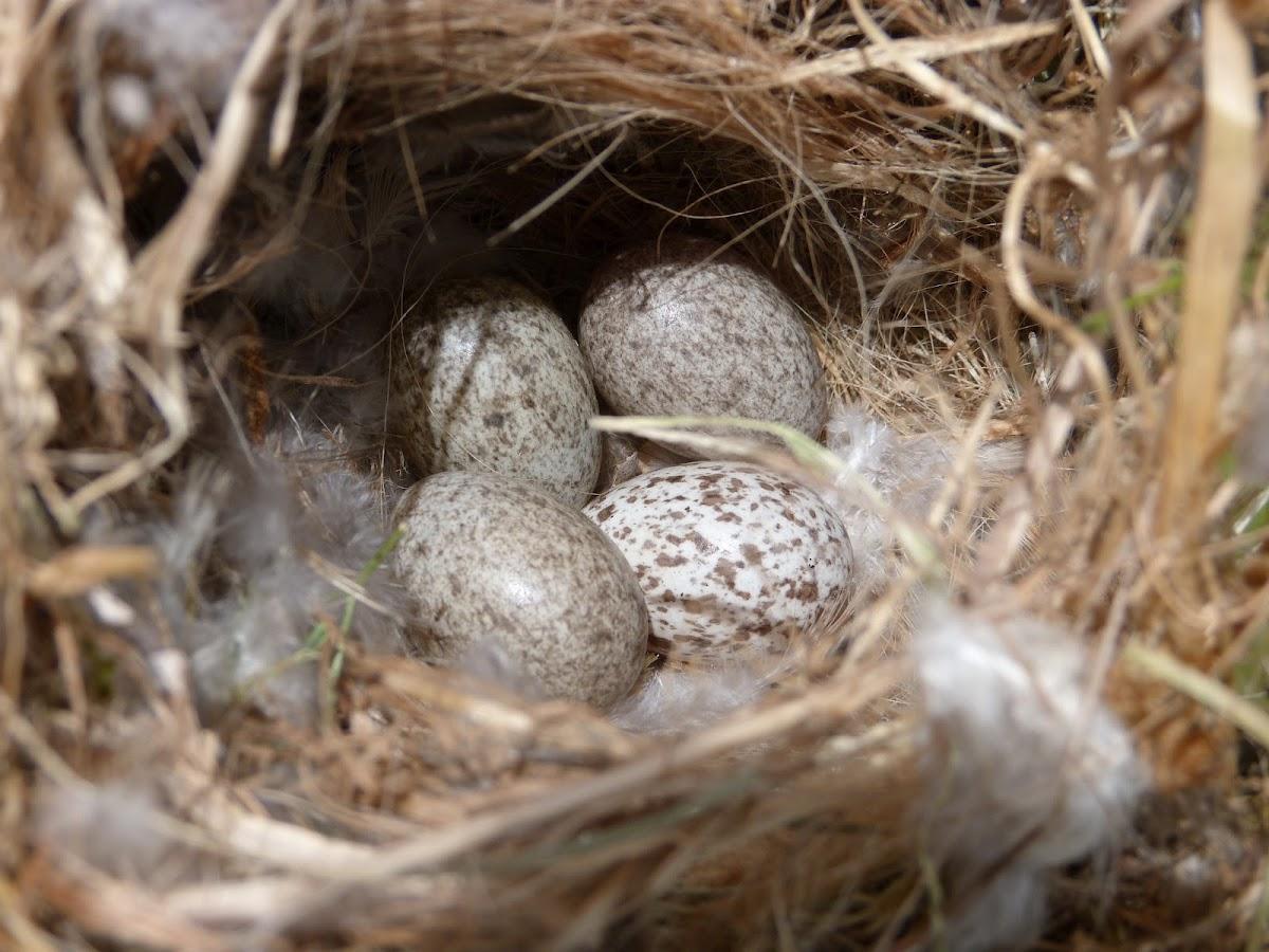 House Sparrow Nest Pictures House Sparrow Nest Eggs