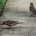 House Finch (pair)