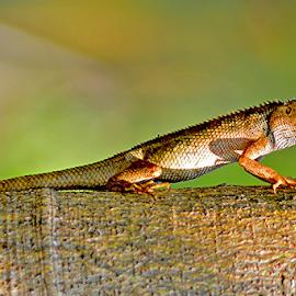 Bunglon by Sigit Purnomo - Animals Reptiles