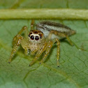 Dimorphic jumper (female)