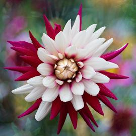 Dahlia - red-white by Carl Sieswono Purwanto - Flowers Single Flower