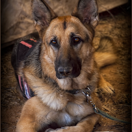 Big Shep! by Fred Herring - Animals - Dogs Portraits