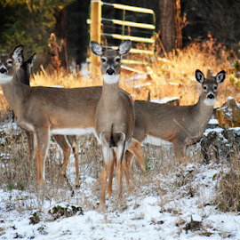 Mule deer by Denise Johnson - Animals Other ( animals, mule, wildlife, mule deer, animal, deer,  )