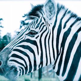 Zebra Stripes by Lori-Ann Randall - Animals Other ( wild, black and white, zebra, stripes, animal,  )