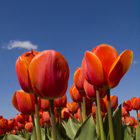 Tulip 7 by BertJan Niezing - Flowers Flower Gardens ( tulip field, tulip, holland, summer, sun )