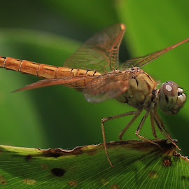 Kinjeng Rawa Pening #1 by Toyib Official - Animals Insects & Spiders ( #indonesia #toyib #rawapening #dragonfly )