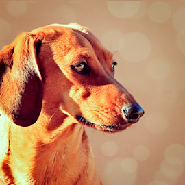 Doxie 2 by Mari du Preez - Animals - Dogs Portraits ( dachshund, brown, sunlight, dog, bokeh )