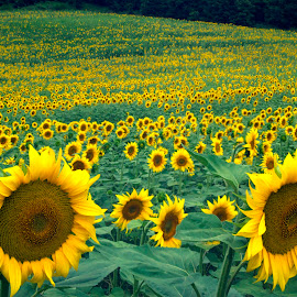 Sunflowers, Umbria by Timothy Carney - Landscapes Prairies, Meadows & Fields ( field, umbria, sunflowers, meadow, italy )
