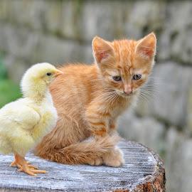 by Maja  Marjanovic - Animals - Cats Kittens ( chicken, cats, kitten, cat, animals, kittens, kitty,  )