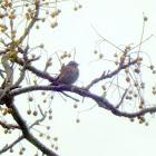 Lincolns Sparrow.