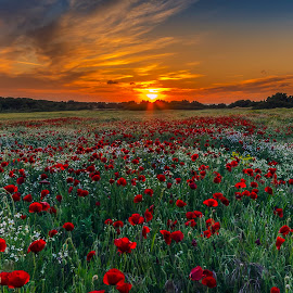 poppies and sunset colors by George Papapostolou - Landscapes Sunsets & Sunrises ( field, george papapostolou, colors, sunset, poppies, landscape, nikon, red, green )