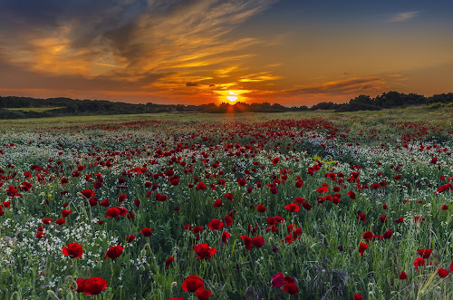 poppies and sunset colors by George Papapostolou - Landscapes Sunsets & Sunrises ( field, george papapostolou, colors, sunset, poppies, landscape, nikon, , red, green )