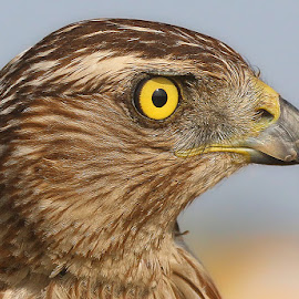 Falcon by Abdul Rehman - Animals Birds ( canon, hunter, punjab, pakista, falcon, wildlife )