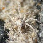 Beach Wolf Spider