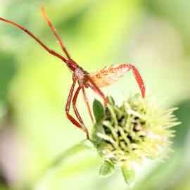 majestic bug by Erika Ramsay - Novices Only Macro ( plant, red, majestic, weed, antennae, bug, insect )