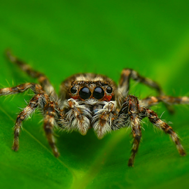 Phidippus sp profile by Dave Lerio - Animals Insects & Spiders