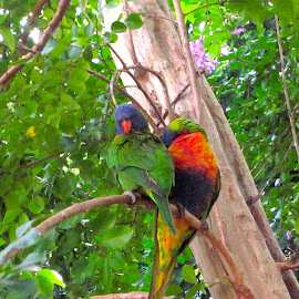 Lorikeets by Mandy Dale - Novices Only Wildlife