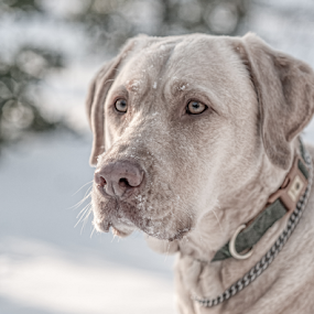 Snow Face by Lorella Johnson - Animals - Dogs Portraits ( labrador yellow dog snow )