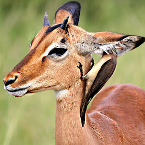 Can you hear me now? by Pieter J de Villiers - Animals Other ( mammals, animals, other, kruger national park, ear, impala, ticks, young impala ram, hunting, south-africa, birds, ox-pecker bird )