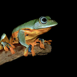 In the dark by Kurito Afsheen - Animals Amphibians ( animals, macro, indonesia, tree frog, amphibian, frogs, stage )