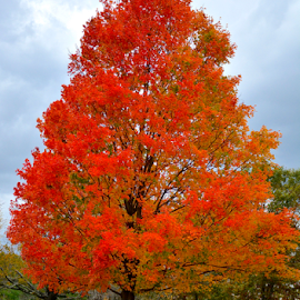 by Carlo Resty Sunga - Nature Up Close Trees & Bushes ( fall, color, colorful, nature )