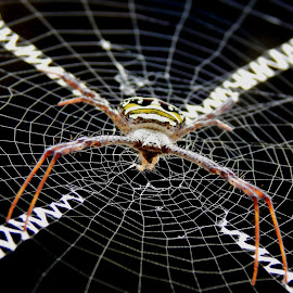 Signature Spider by Sumit Nath - Animals Insects & Spiders (  )