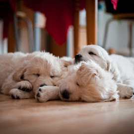 Afternoon nap by Velina Krasteva - Animals - Dogs Puppies ( calm, dogs, afternoon, sleep, together, puppies, winter, fluffy, floor, babues, three, paws, dog, golden, golden retriever )