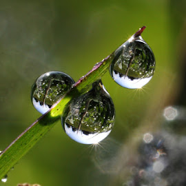 Dew by Muhamad Lazim - Nature Up Close Water ( macro, dews, nature up close, flare )