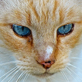 Old blue eyes by Laura Payne - Animals - Cats Portraits ( orange, cat, stipe, stare, white, chat, long, point, nose snip, blue, whisker, brown, feline, nose, animal, eye,  )