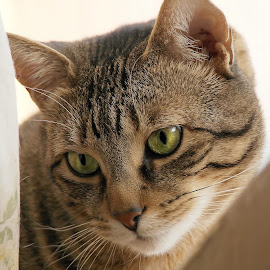 Cleo in the Window by Deanna Ramsay - Animals - Cats Portraits ( cats, animals, window, pets, tabby )