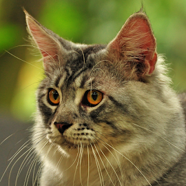 Nadal. by Cacang Effendi - Animals - Cats Portraits ( cats, cattery, kitten, chandra, animal )
