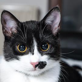 Cat portrait by Miroslav Potic - Animals - Cats Portraits (  )