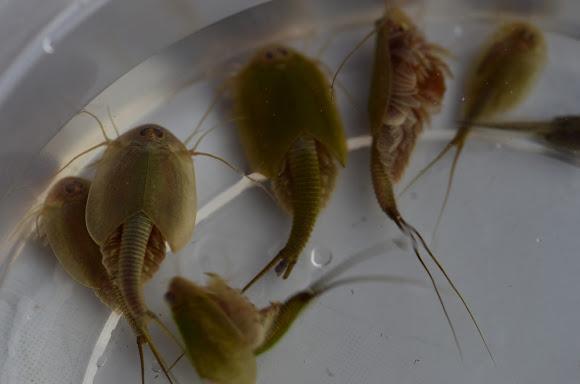 Longtail Tadpole Shrimp Project Noah
