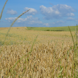 grains field by Sarka Brichová - Novices Only Landscapes ( farm, field, grains, healthy, summer )