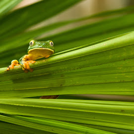 Here's looking at you babe by Mike O'Connor - Animals Amphibians ( curious, watching, supervisor, frog, leaf,  )