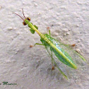 Green Mantisfly