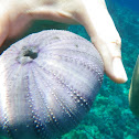 Sea Urchin Shell - wana
