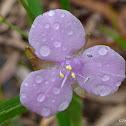 Lawn Lily, Slug Herb