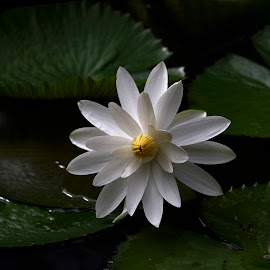 White by Quy Truong Dinh - Flowers Flower Gardens