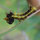 Emperor gum moth (larva)