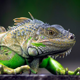 by Wahid Abdul Rahman - Animals Reptiles