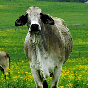 Cow by Jamie Hodge - Animals Other ( tongue, flowers, cows,  )