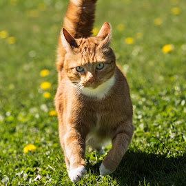 A Run In The Sun by Darrell Evans - Animals - Cats Playing (  )