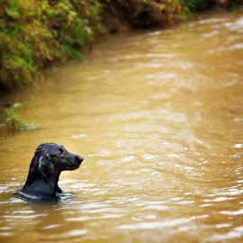 Swimming in Muddy Water by Scott Sleek - Animals - Dogs Playing ( muddy water, dogs, canines, pets, swimming, flatcoat retriever )