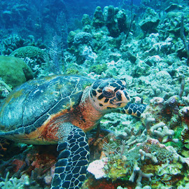 Hawksbill on the Reef by Phil Bear - Animals Sea Creatures ( coral, reef, sea turtle, roatan, turtle, caribbean, honduras )