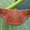 Sri Lankan Tussar Silk Moth
