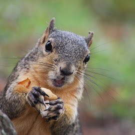 by Marie LaCoste - Animals Other ( squirrel )