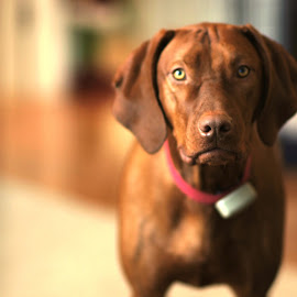 Jaxxon Gunner by Alan Broderick - Animals - Dogs Portraits ( #vizsla )